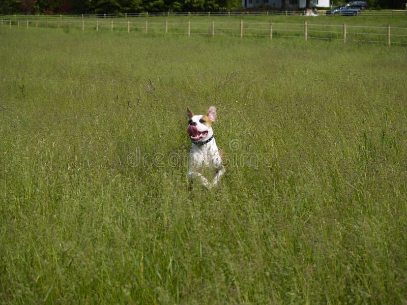 Salto del perro en hierba alta fotos de archivo libres de regalías