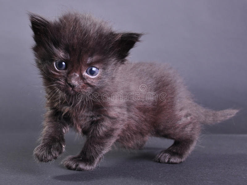 Salto del piccolo gattino nero e correre di camminata immagine stock