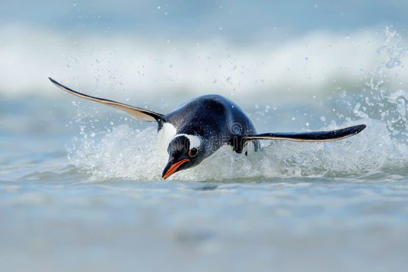 Salto del pingüino de Gentoo en las orillas de las Islas Malvinas fotografía de archivo libre de regalías