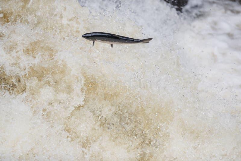 Salto del salmo Salar del salmón atlántico foto de archivo libre de regalías