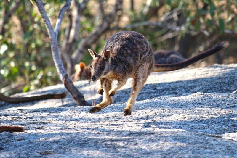 Salto del wallaby di roccia immagine stock libera da diritti
