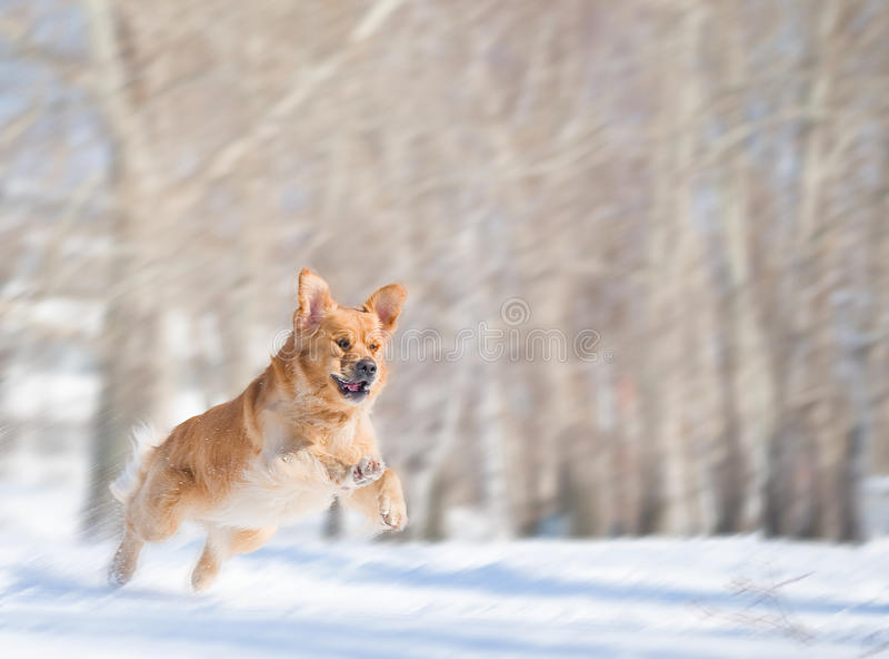 Salto do cão do retriever dourado com borrão de movimento imagem de stock