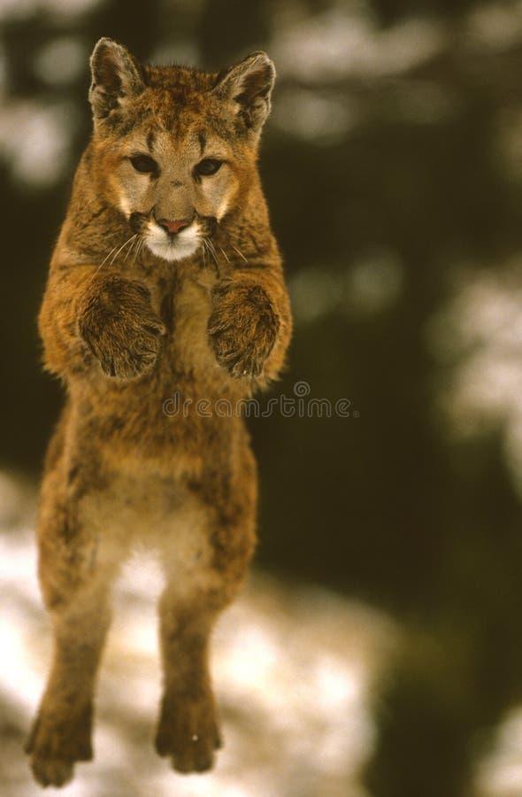 Salto do leão de montanha fotos de stock
