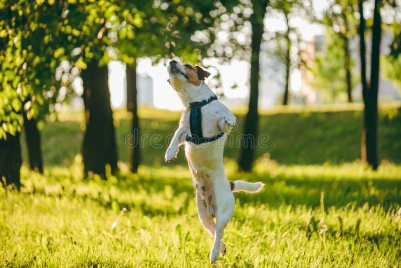 Salto elegante e agile del cane che gioca nel parco di primavera al giorno soleggiato fotografia stock