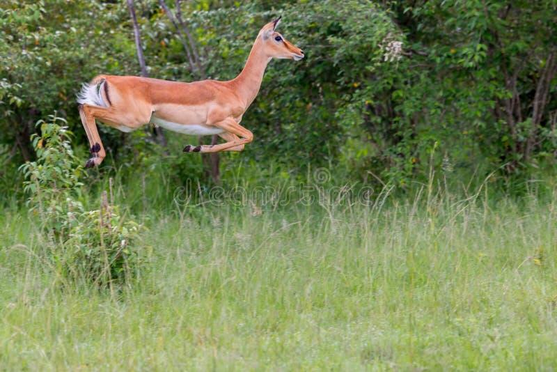 Salto femenino del impala imagen de archivo