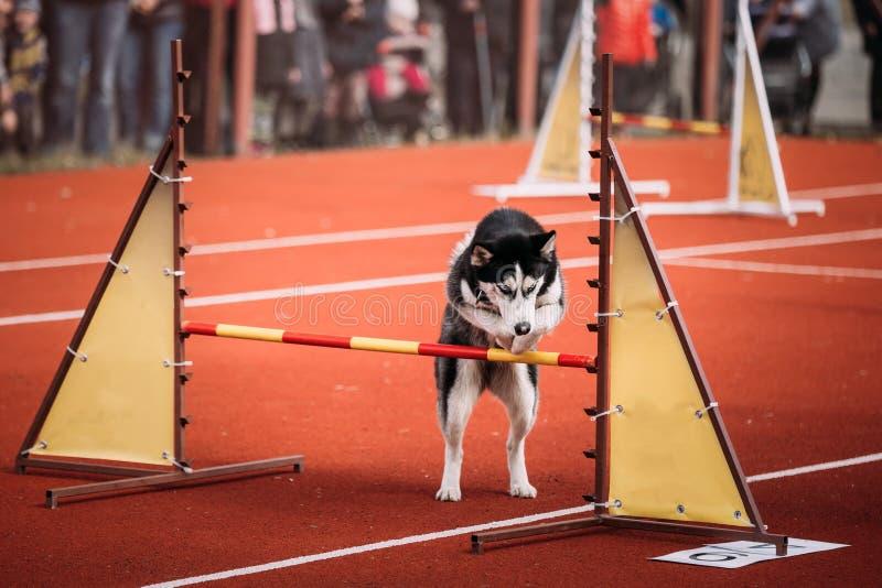 Salto fornido divertido joven del perro al aire libre en la agilidad fotografía de archivo