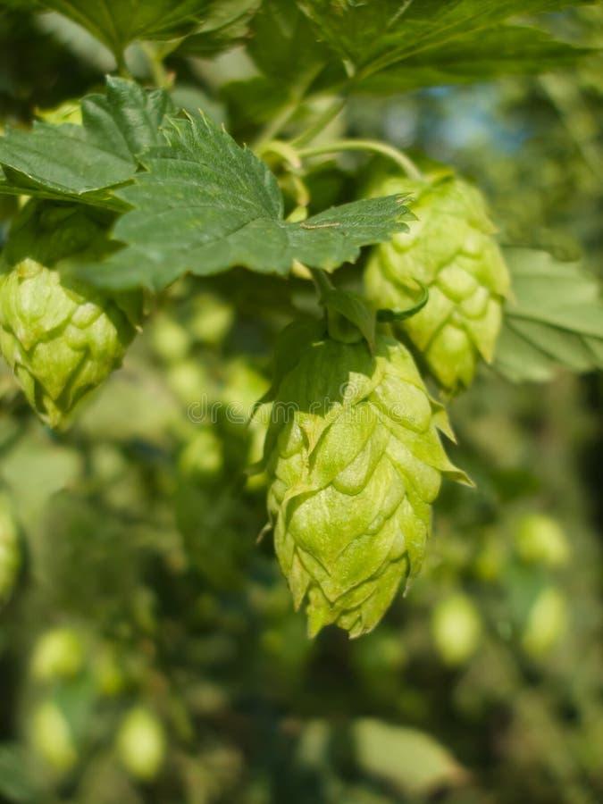Salto - gusto de la cerveza fotografía de archivo