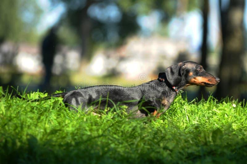 Salto negro del perro basset, corriendo en la hierba fotos de archivo