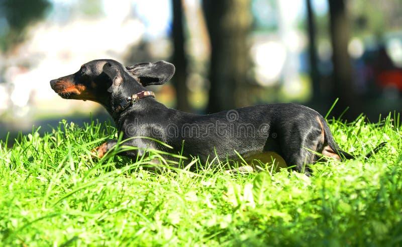 Salto negro del perro basset, corriendo en la hierba imágenes de archivo libres de regalías