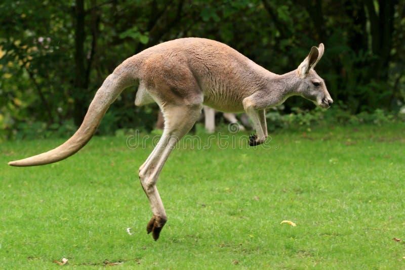 Salto rosso del canguro immagini stock libere da diritti