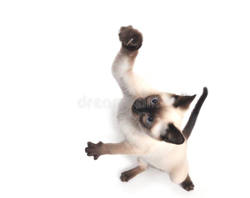 Salto siamese del gattino immagini stock