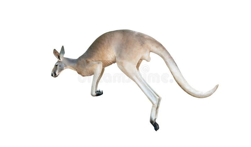 Salto vermelho do canguru fotos de stock royalty free