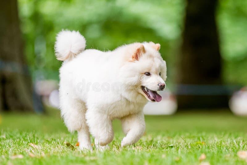 Salto y funcionamiento blancos de un perrito del samoyedo en un campo o un parque fotos de archivo