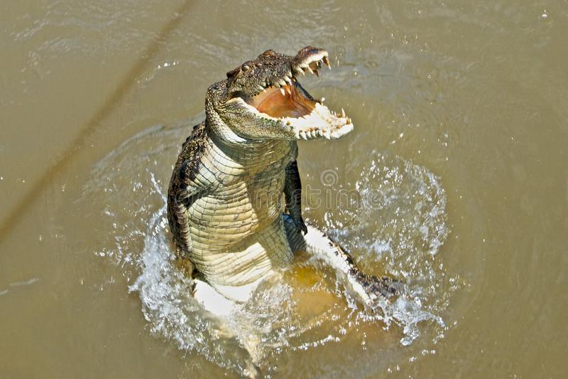 Saltvattens- krokodil royaltyfri bild