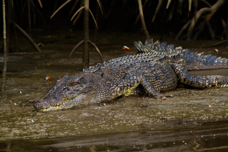 Saltvattens- krokodil (Crocodylusporosusen) arkivfoto