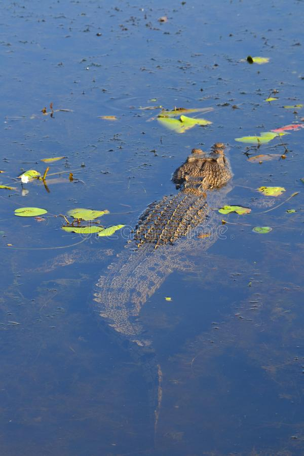 Saltwater κροκόδειλος που κολυμπά μακριά σε Kakadu στοκ εικόνες