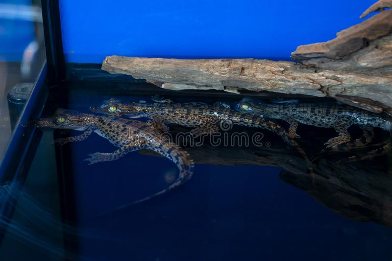 Crocodile baby or Crocodylus Porosus lying on the timber royalty free stock image