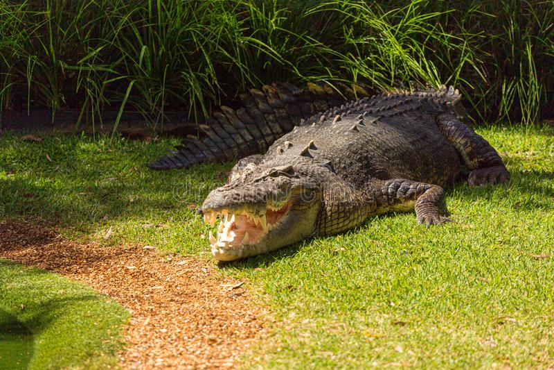 Saltwater crocodile Crocodylus porosus is een krokodiliaanse natuurlijke habitat die in zeewater leeft royalty-vrije stock afbeelding