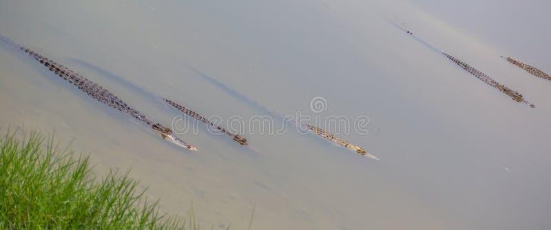 Saltwater Crocodile II stock photo