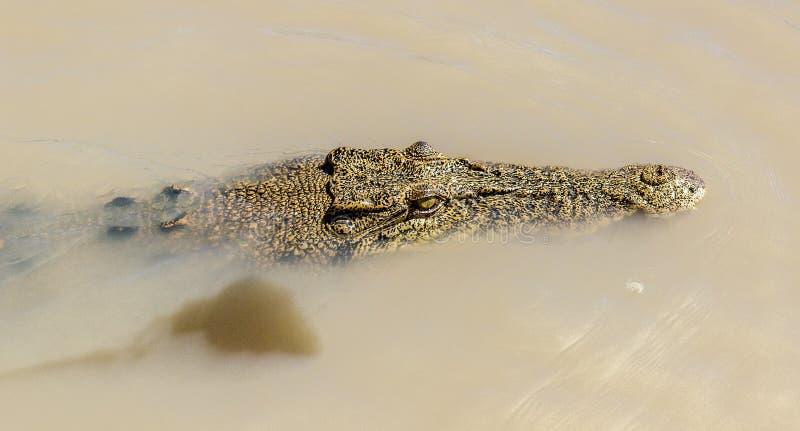 saltwater crocodile in Kakadu National Park in Australia& x27;s Northern Territory royalty free stock photos