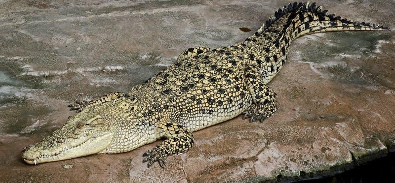Saltwater krokodyl 2 obraz stock