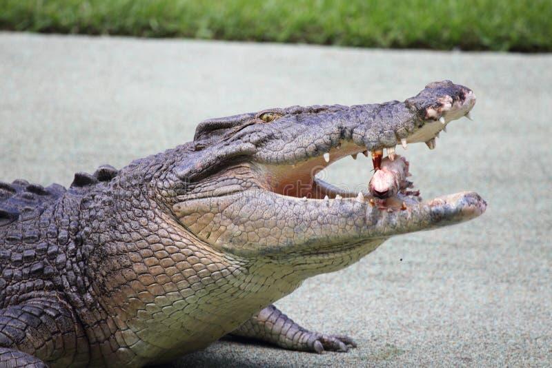 Saltwater krokodyl (Crocodylus porosus) obrazy royalty free