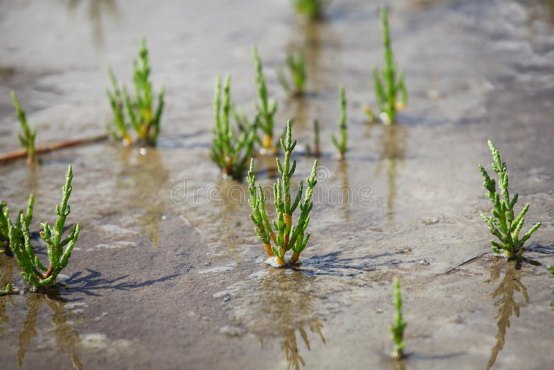 Saltwort - europaea Salicornia stock foto