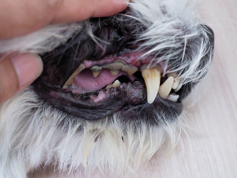 Salud con la boca del dolor de muelas del perro, de la caries y de las manchas de la piedra caliza imagenes de archivo