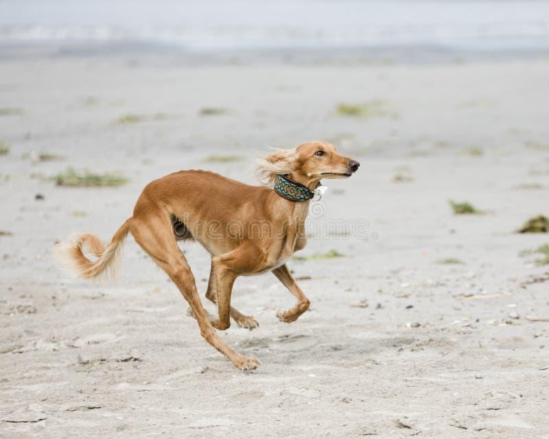 Saluki在海滩使用 图库摄影