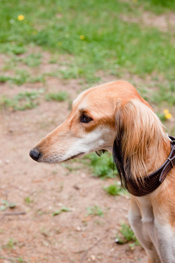 Saluki. A portrait of young saluki stock photos