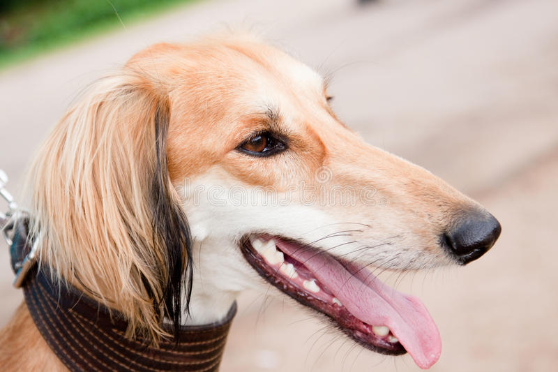 Saluki. A portrait of young saluki stock images
