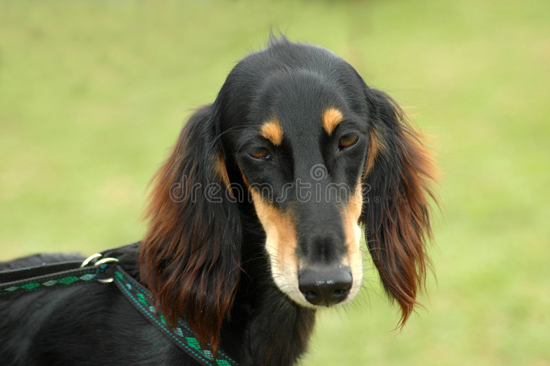 Saluki. A beautiful Saluki hound dog head portrait with sad expression in the face watching other dogs in the park stock images