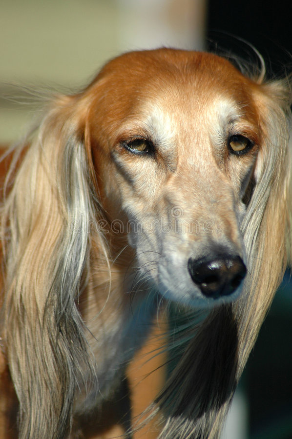 Saluki. A beautiful Saluki hound dog portrait with cute expression in the face watching other dogs in the park royalty free stock photo