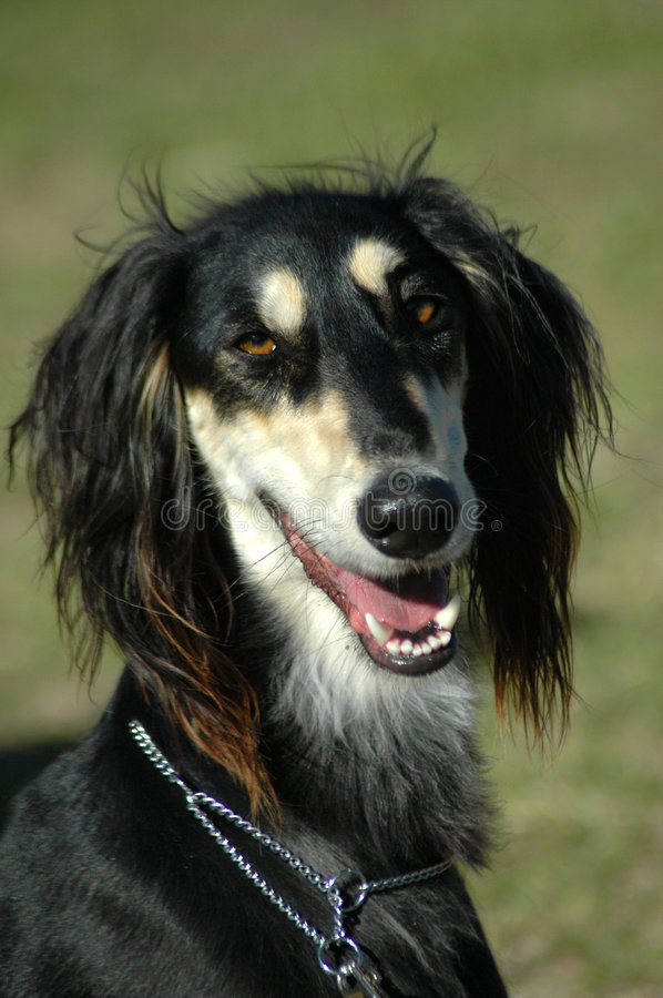 Saluki. A beautiful black Saluki hound dog head portrait with friendly expression in the face watching other dogs in the park outdoors stock photo