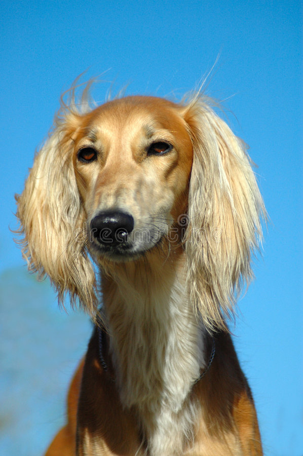 Saluki. A beautiful red Saluki hound dog head portrait with proud expression in the face watching other dogs in the park outdoors stock image