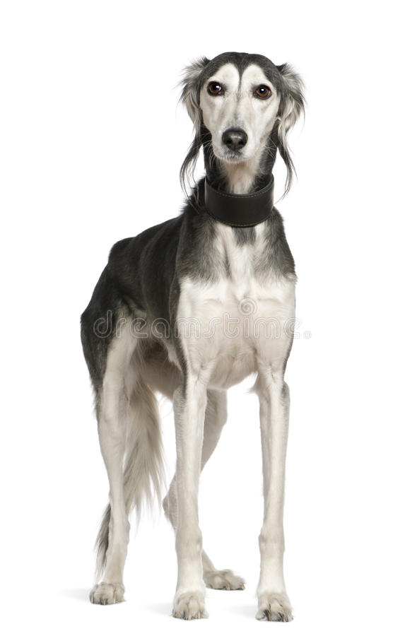 Saluki dog, 12 years old, standing royalty free stock image