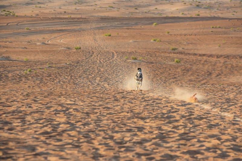 Saluki dog race. Saluki dog for race in desert of Abu Dhabi stock images