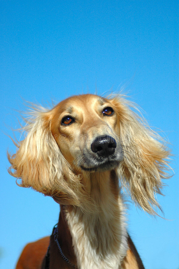 Saluki hound dog portrait. Outdoor portrait of a beautiful Saluki hound dog with alert facial expression and his long hair blowing in the wind in front of blue royalty free stock photo