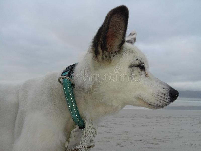 Saluki mix dog stock image