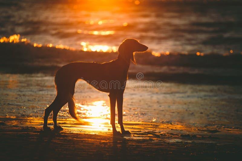 Saluki op zonsondergang royalty-vrije stock foto