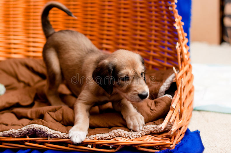 Saluki pup. A brown saluki pup in a basket stock images