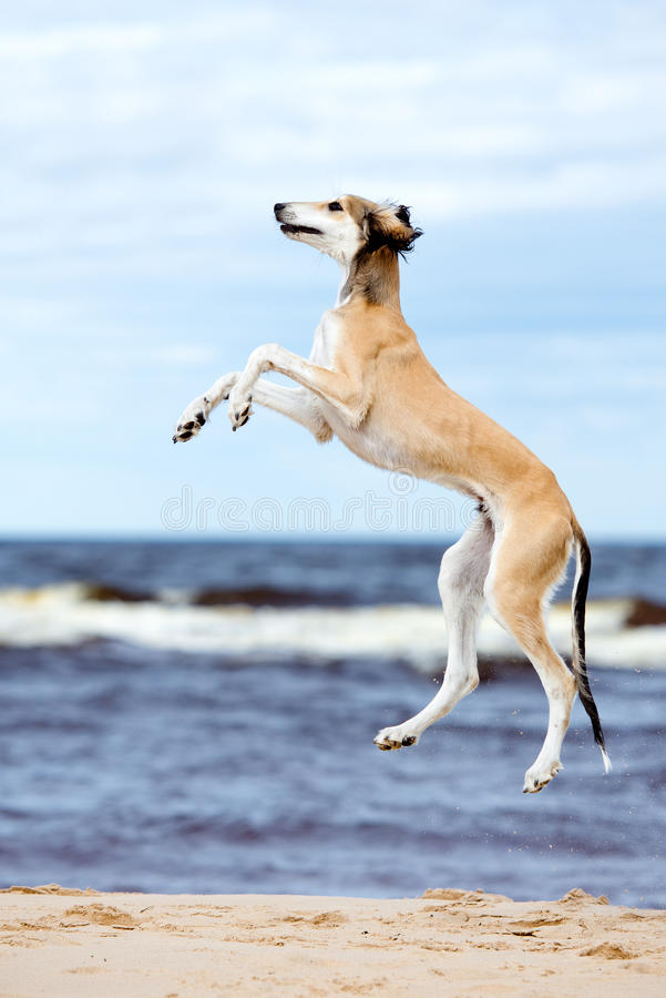 Saluki puppy jumping up. 5 months old saluki puppy outdoors stock photo
