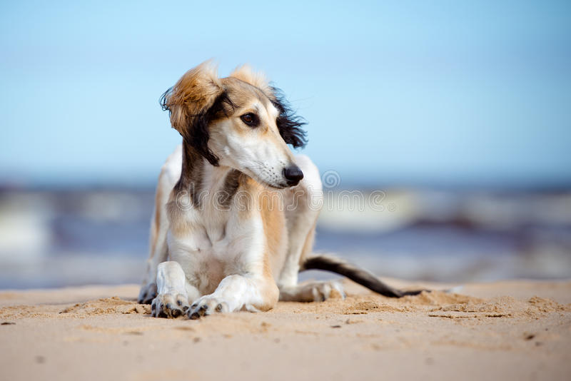 Saluki puppy lying down on a beach. Adorable saluki breed puppy on a beach royalty free stock photo