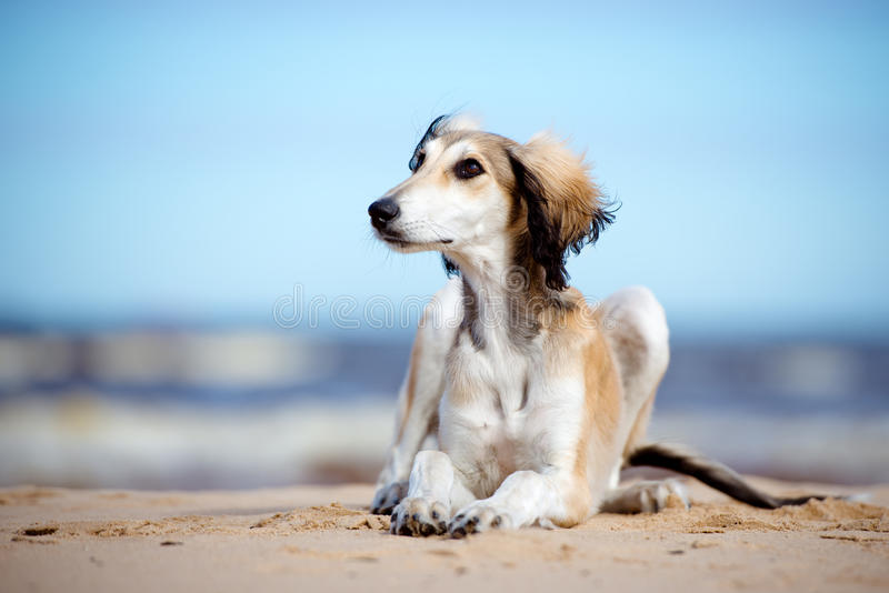 Saluki puppy lying down on a beach. 5 months old saluki puppy outdoors royalty free stock images