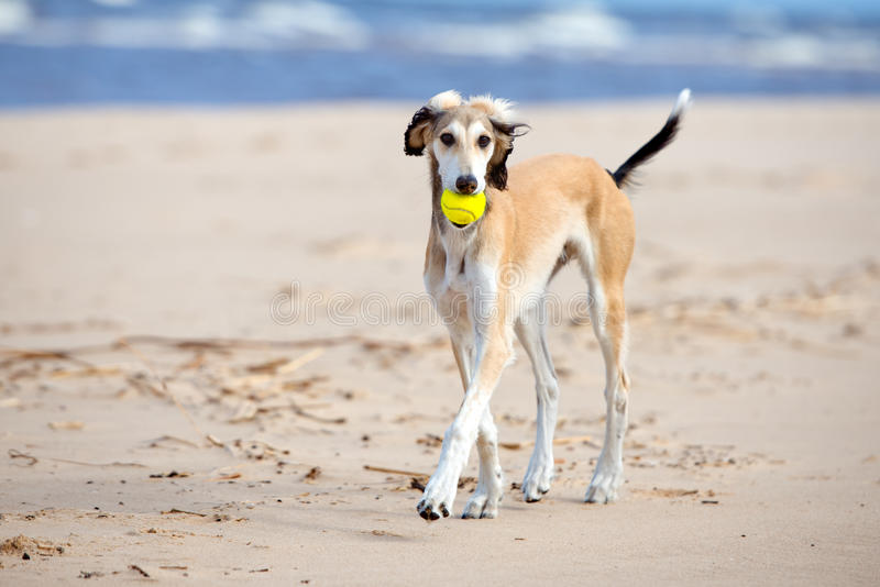 Saluki puppy playing with a ball. 5 months old saluki puppy outdoors royalty free stock photo