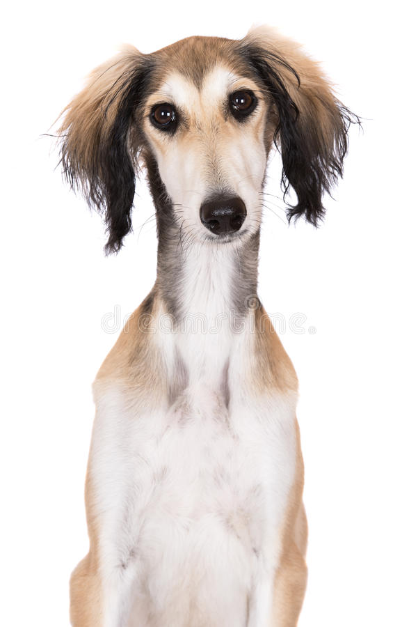 Saluki puppy posing on white. Adorable saluki breed puppy on white stock photos