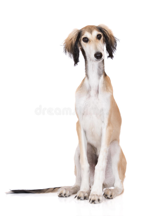 Saluki puppy posing on white. Adorable saluki breed puppy on white stock image