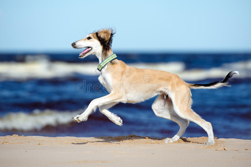 Saluki puppy running on a beach. 5 months old saluki puppy outdoors stock images
