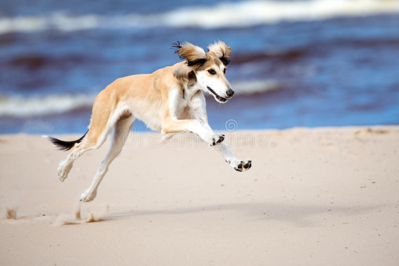 Saluki puppy running on the beach. 5 months old saluki puppy outdoors stock photo