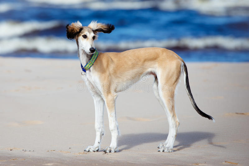 Saluki puppy standing on a beach. 5 months old saluki puppy outdoors royalty free stock image